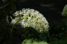Actaea pachypoda – White Baneberry