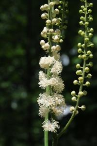 Actaea racemosa – Black Cohosh