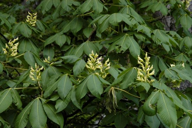 Aesculus flava – Yellow Buckeye