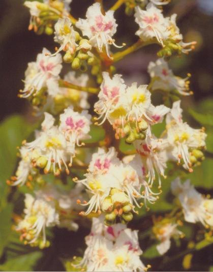 Aesculus hippocastanum–Horse Chestnut