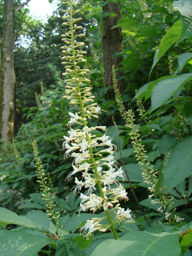 Aesculus parviflora – Bottlebrush Buckeye