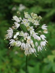 Allium cernuum – Nodding Onion