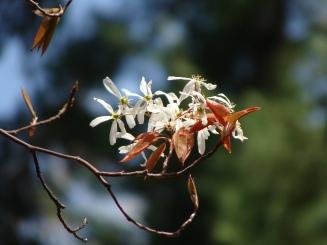 Amelanchier arborea – Serviceberry