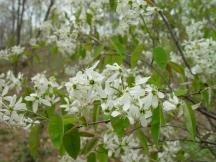 Amelanchier canadensis – Shadblow serviceberry