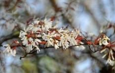 Amelanchier laevis – Serviceberry