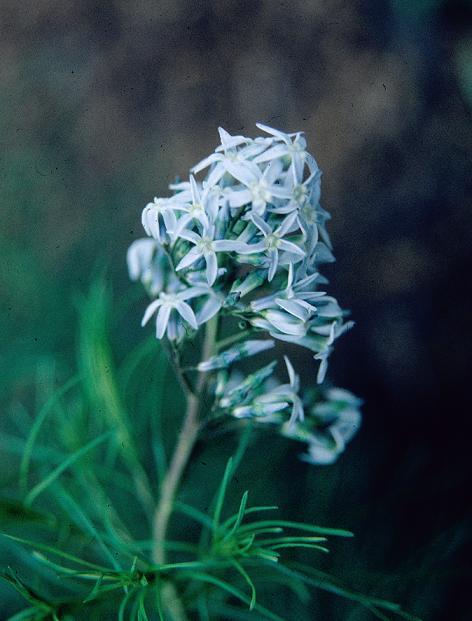 Amsonia ciliata_59682