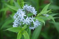 Amsonia tabernaemontana – Eastern Bluestar