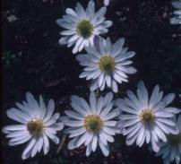 Anemone caroliniana–Carolina thimbleweed