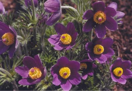 Anemone pulsatilla 'vulgaris'