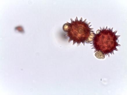 Bidens alba – Shepard's Needles