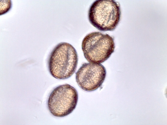 Brassica oleracea–Wild Cabbage
