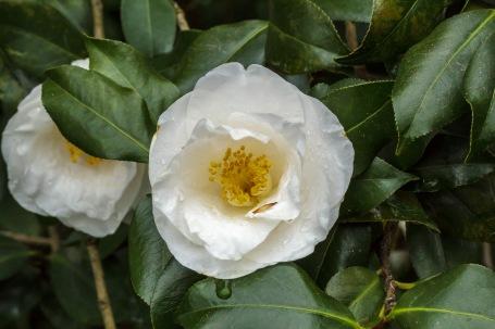 Camellia japonica–Broadleaf Evergreen