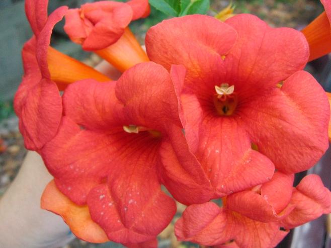 Campsis radicans–Trumpetcreeper
