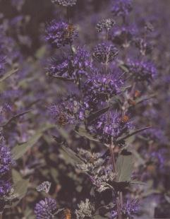 Coryopteris clandonensis–Bluebeard