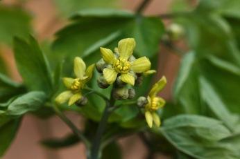 Caulophyllum thalictroides – Blue Cohosh