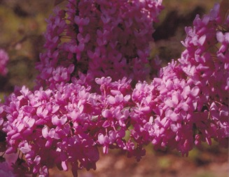 Cercis canadensis–Eastern Red Bud