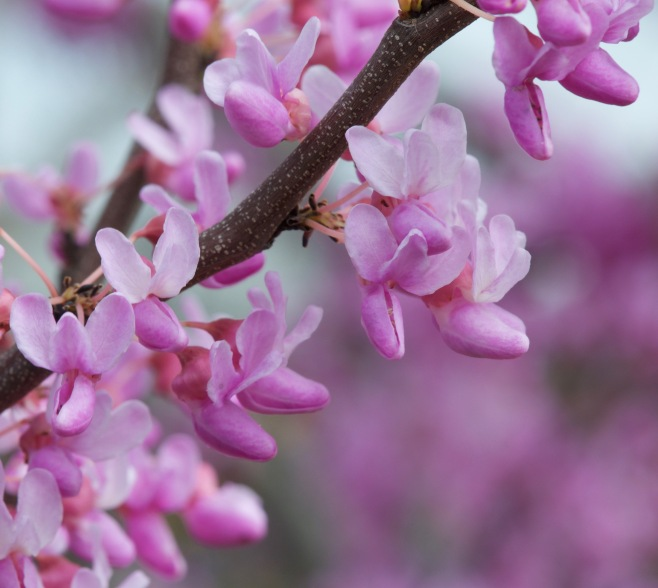 Cercis canadensis 'The Rising Sun' –Eastern Red Bud