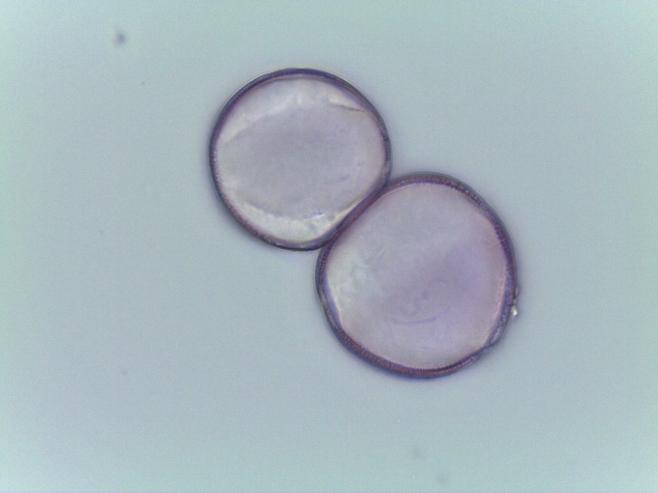 Chelone lyonii–Pink Turtlehead