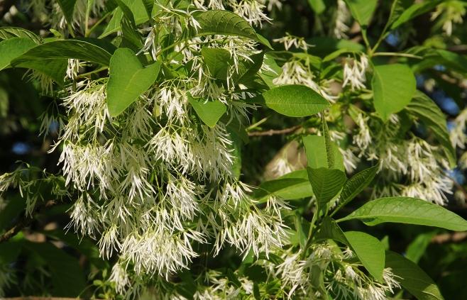 Chionanthus virginicus–White Fringetree