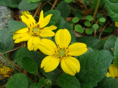 Chrysogonum virginianum 'Quinn's Gold'–Golden Knee