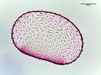 Commelina communis–Asiatic Dayflower