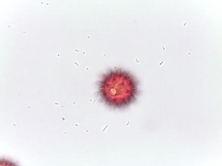 Coreopsis lanceolata–Lanceleaf coreopsis