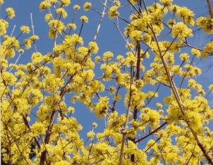 Cornus mas–cornelian cherry dogwood