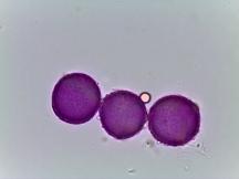 Corydalis sempervirens–Rock Harlequin