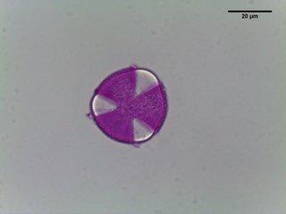 Corylopsis pauciflora–Buttercup winterhazel