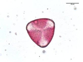 Crataegus phaenopyrum–Washington Hawthorne