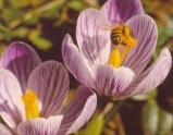 Crocus vernus–Crocus Pickwick