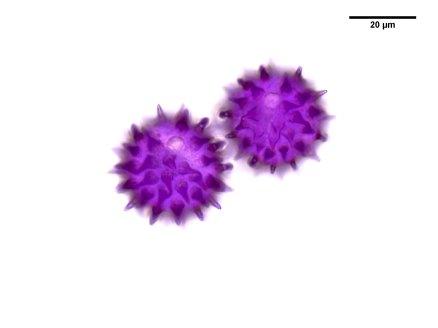 DL Coreopsis latifolia