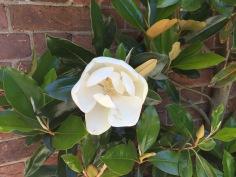 Magnolia grandiflora–Southern Magnolia, Mount Cuba, June 10, 2016