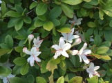 Rhododendron arborescens–Sweet Azalea