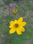 Coreopsis verticillata-Threadleaf Coreopsis