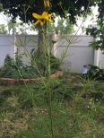 Coreposis verticillata–Threadleaf Coreopsis