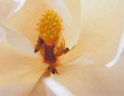 Magnolia grandiflora-Southern Magnolia 2