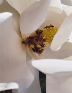 Magnolia grandiflora-Southern Magnolia