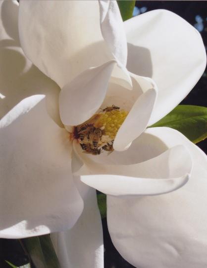 Magnolia grandiflora–Southern Magnolia 3