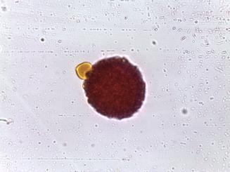 Phlox subulata–Moss phlox