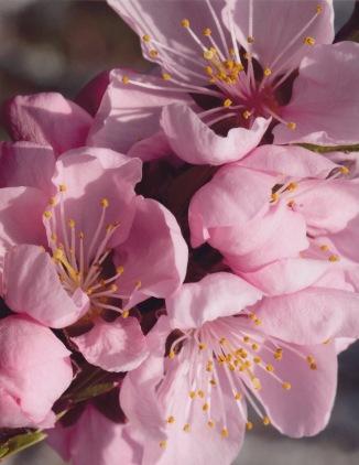 Prunus persica–Peach