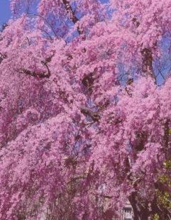 Prunus subhirtella–Winter-Flowering cherry