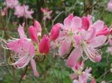 Rhododendron vaseyi–Pinkshell azalea