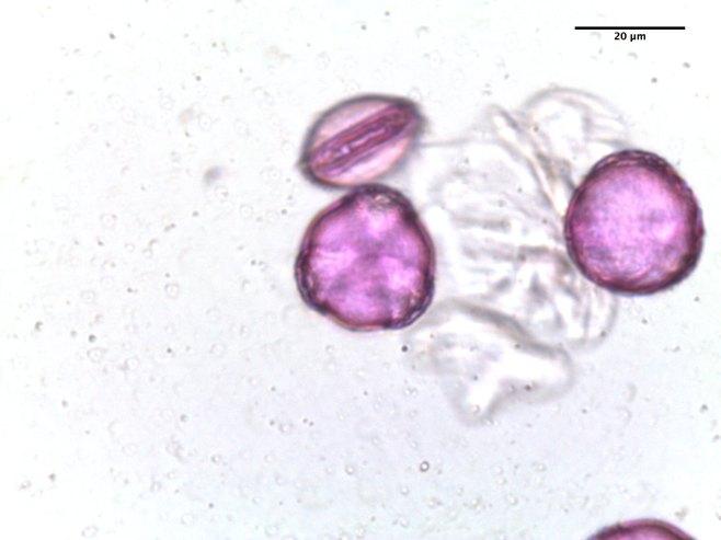 Delphinium alabamicum–Alabama Larkspur