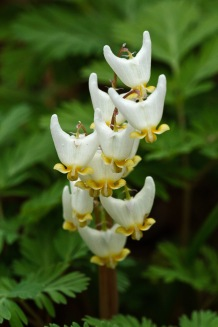 Dicentra cucullaria–Dutchman's Breeches