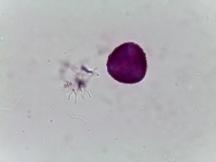 Epimedium sulphureum–Bishop's Hat
