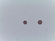 Erigeron strigosus-Common Eastern Fleabane