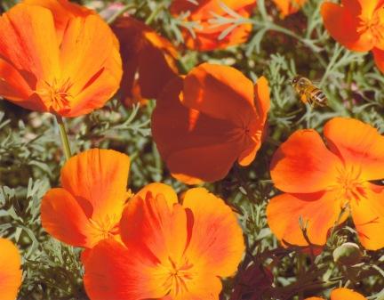 Eschscholzia californica–Californian Poppy