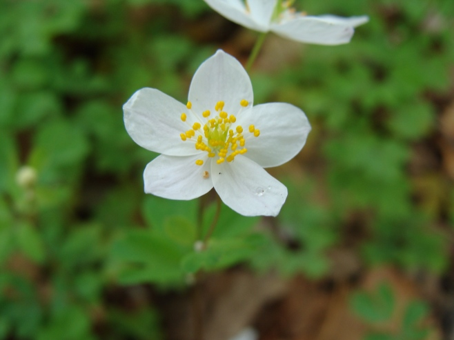 Enemion biternatum– False Rue Anemone
