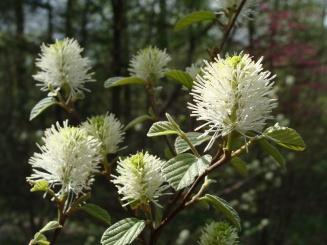 Fothergilla gardenii–Dwarf Fothergilla